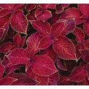 "Колеус гибридный (Coleus х hybrida) ""Wizard"" (velvet red)"
