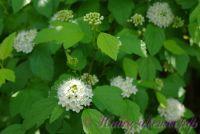 Пузыреплодник калинолистный 'Дартс Голд' / Physocarpus opulifolius 'Darts Gold'