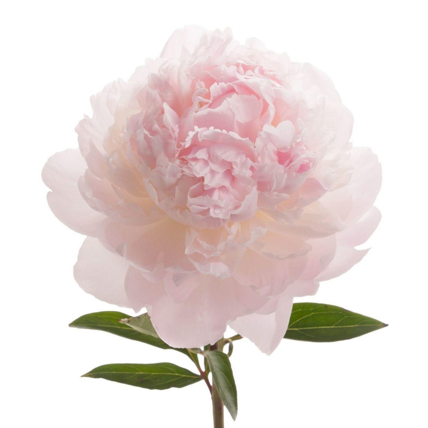 Розовый пион 80 см высотой поштучно