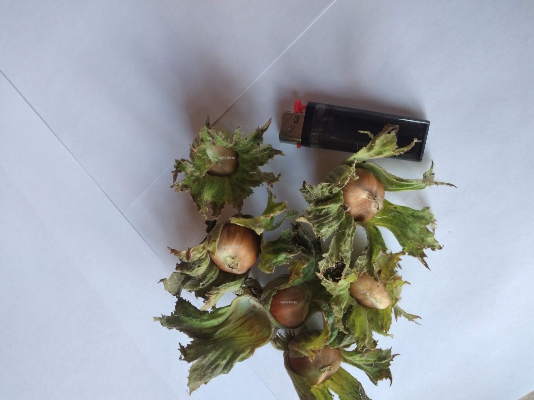 фундук саженцы фундука трапезунд минимальный заказ 500шт