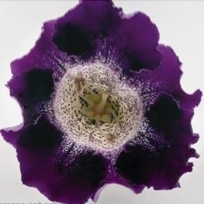 Глоксиния гибридная f1 Empress Purple Spotted Throat. Пакет - 5 семян