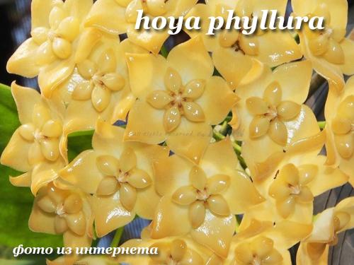 hoya phyllura