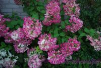 Гортензия метельчатая 'Диамонд Руж' / Hydrangea paniculata 'Diamond Rouge'