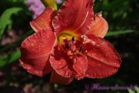 Лилейник 'Мозес Фаер' / Hemerocallis 'Moses Fire'