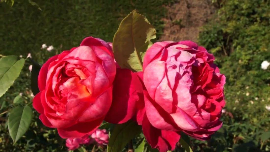 Роза Бенджамин Бриттен Benjamin Britten
