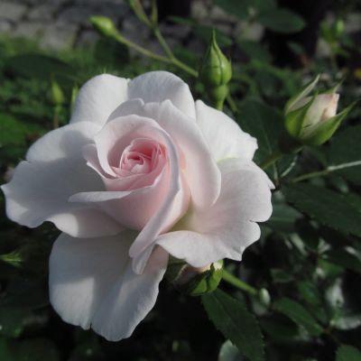Роза Аспирин Aspirin Rose