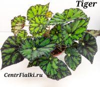 Бегония Tiger взрослое растение