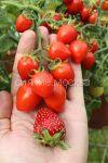 Tomat-Balkonnye-serdechki-F1-Premium-sids2