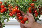Tomat-Balkonnye-serdechki-F1-Premium-sids3