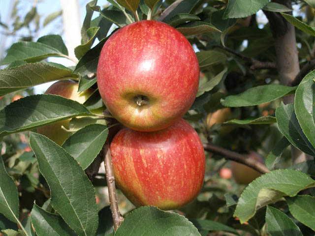 Яблоня, сорт Аннагло