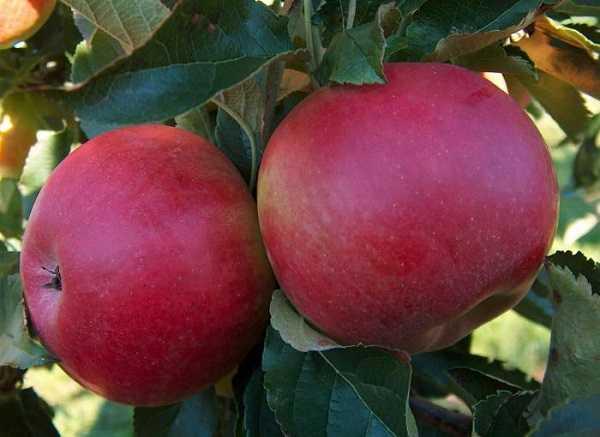 Яблоня, сорт Фуджи Ацтек
