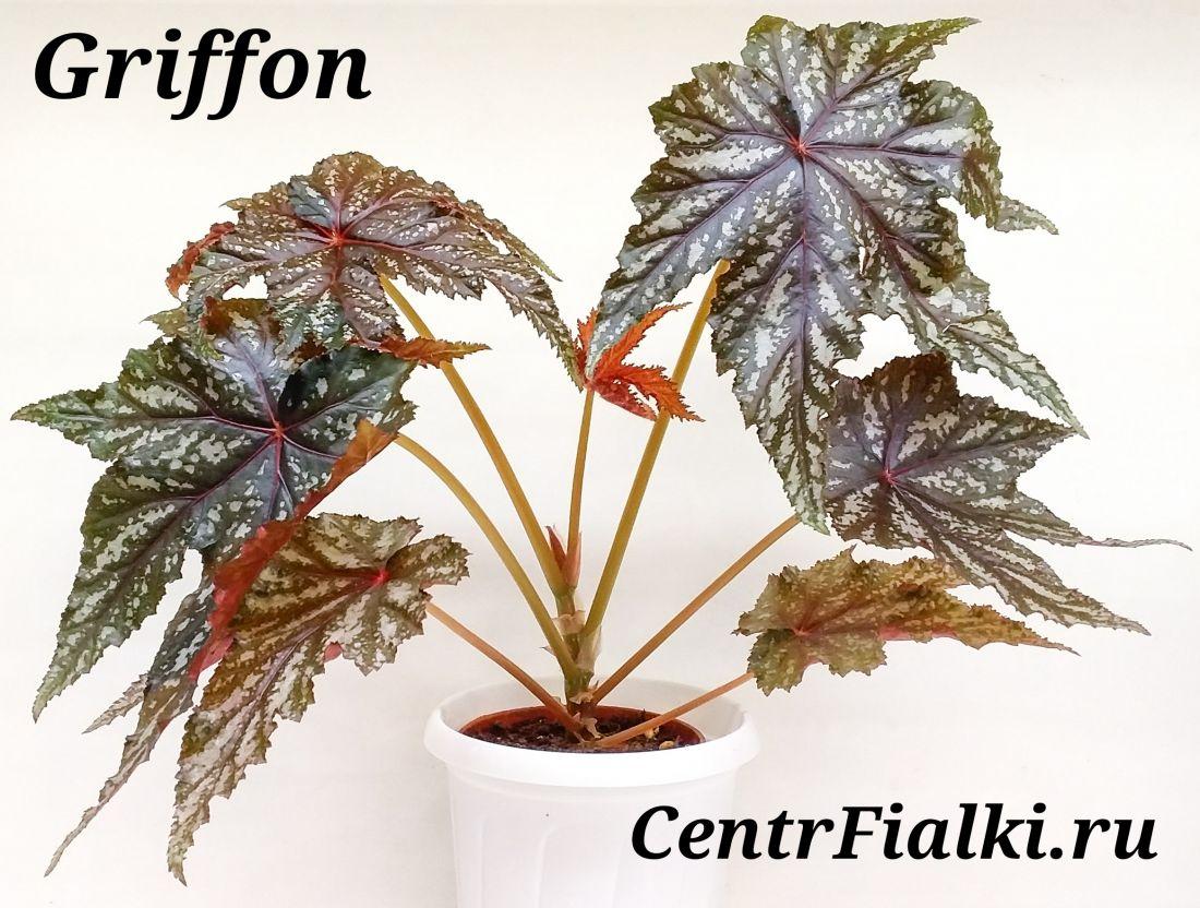 Begonia Griffon