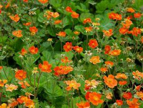 Гравилат красноцветковый Борисий (Geum coccineum Borisii)