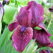 Ирис карликовый Черри Гарден (Iris Cherry Garden)