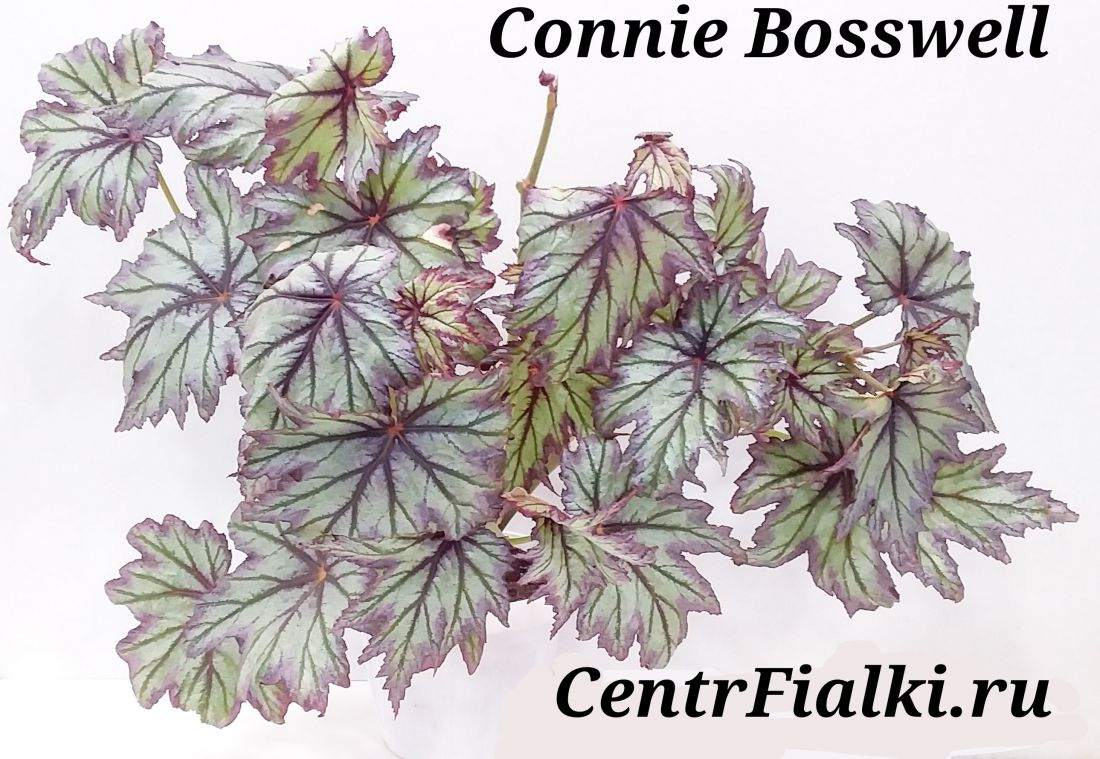Begonia Connie Boswell