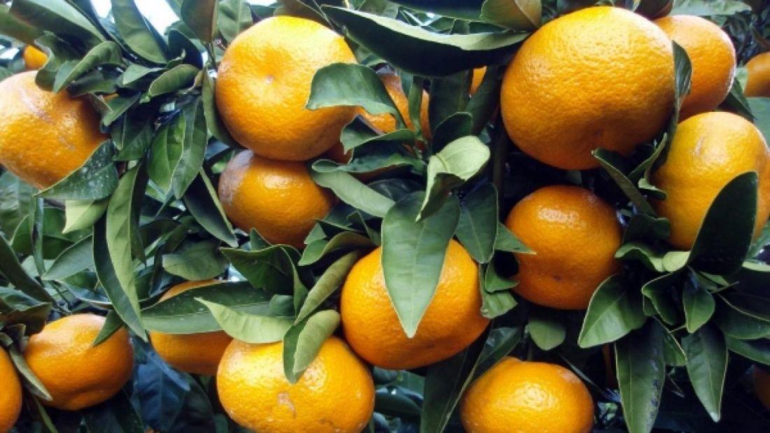 саженцы мандарина уншиу широколистный