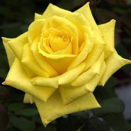 Роза флорибунда Николя Уло (Rose floribunda Nicolas Hulot)