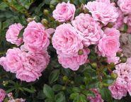 Роза почвопокровная Фэйри (Rose groundcover The Fairy)