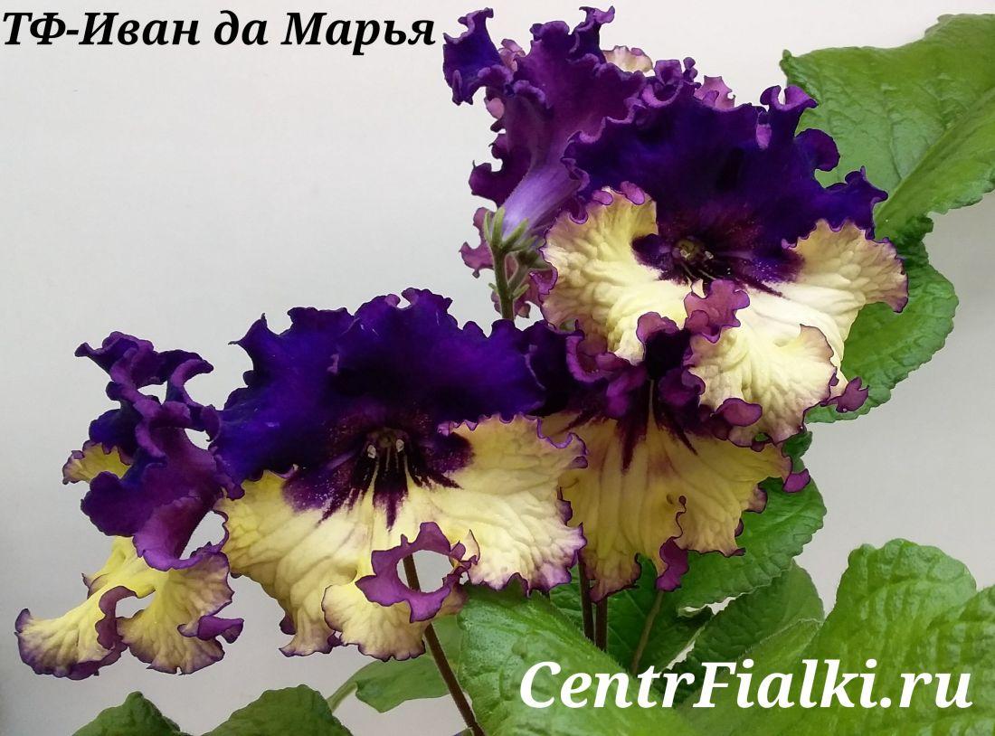 ТФ-Иван да Марья (Т. Фурлетова)