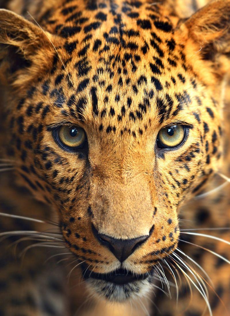 Леопард 3-046