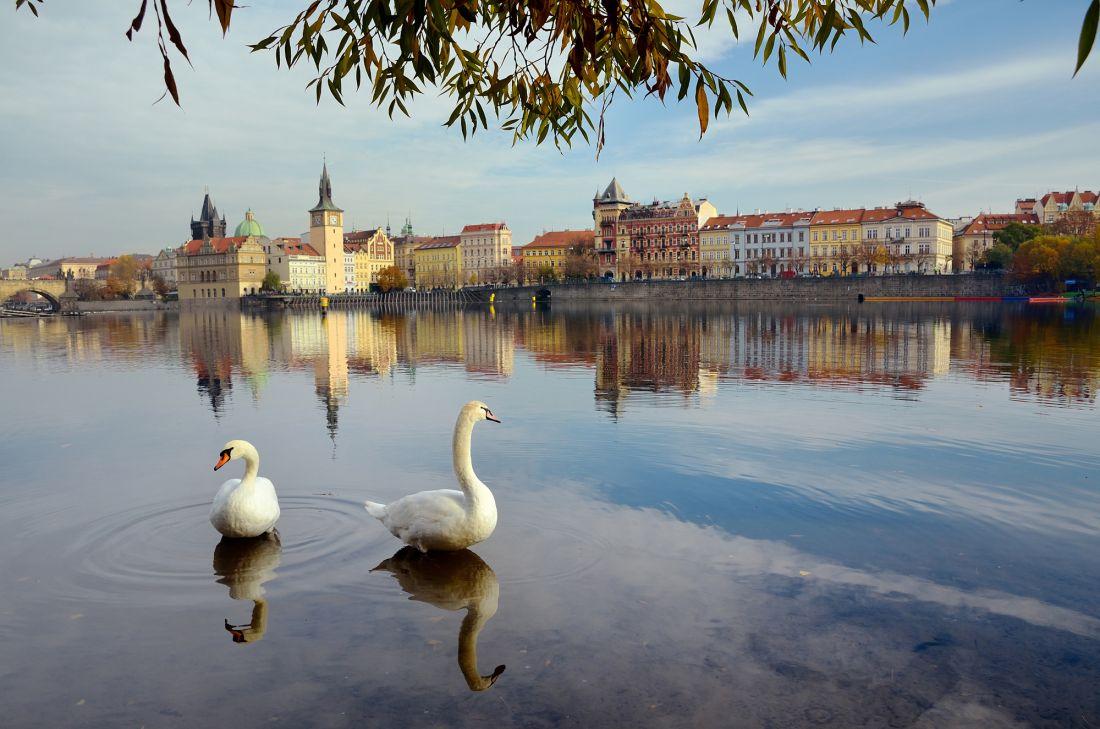 Лебеди на реке Влтава в Праге 22-040