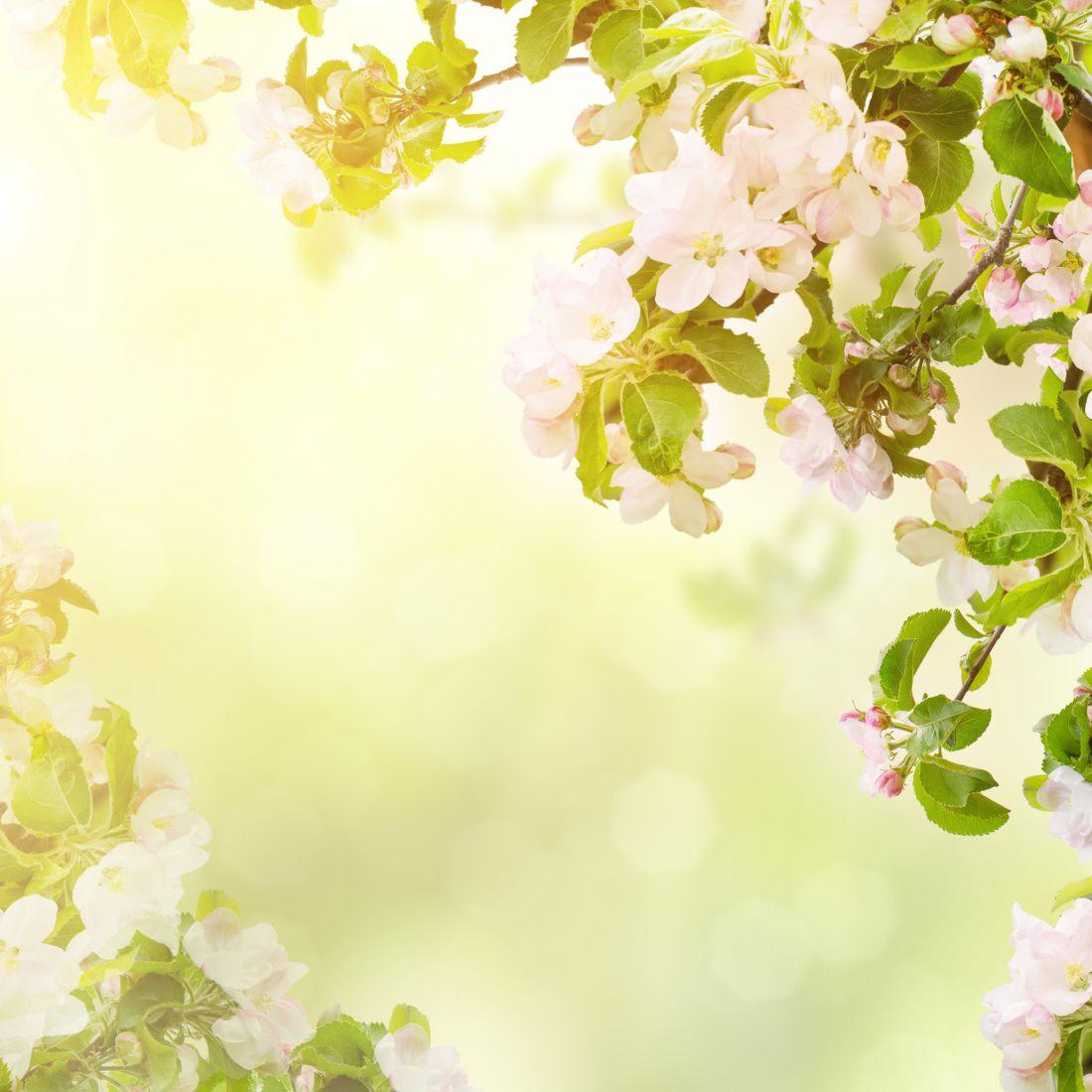 Яблони в цвету 10-259