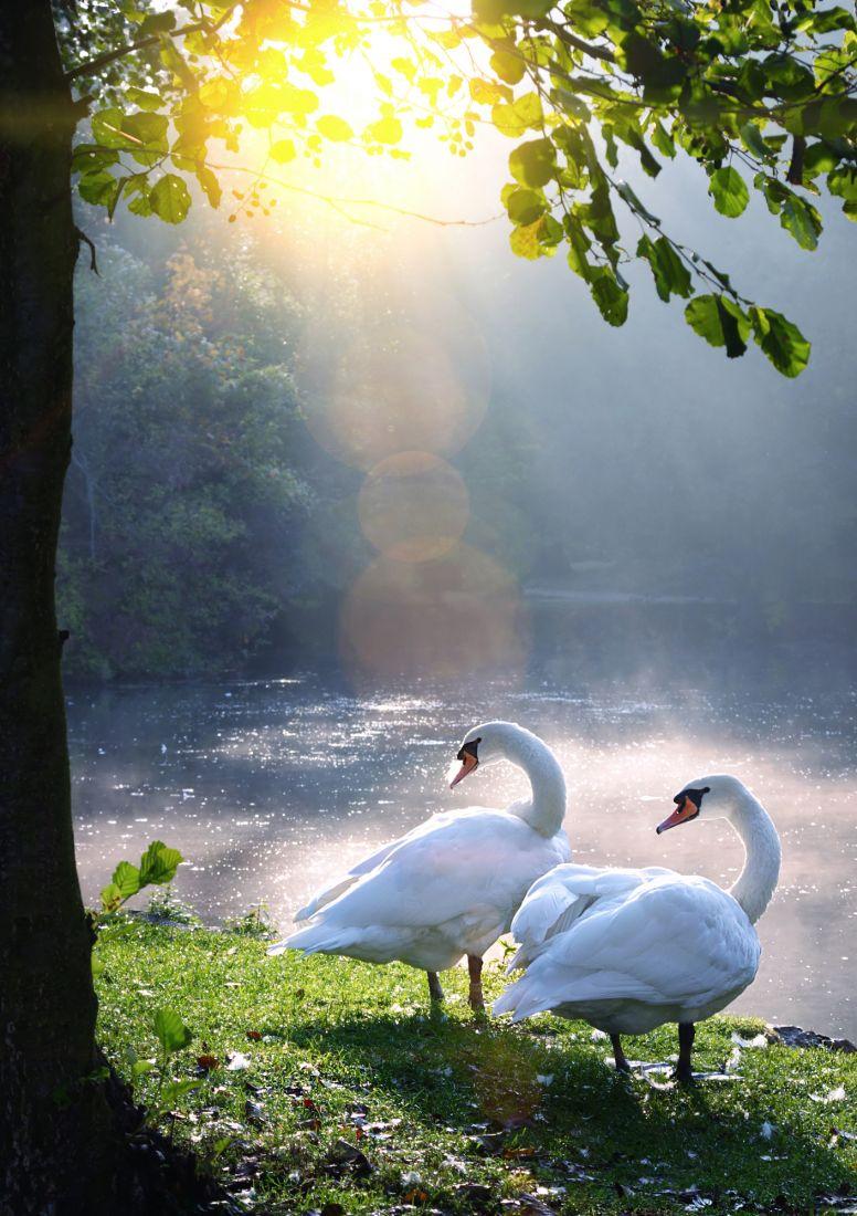 Два лебедя 3-097