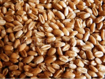 """Органическая пшеница """"Солнечная Земля"""",250 грамм"""