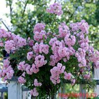 Хевенли Пинк (Heavenly Pink)