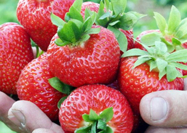 Эльсанта саженцы клубники (Elsanta Strawberry) 10шт