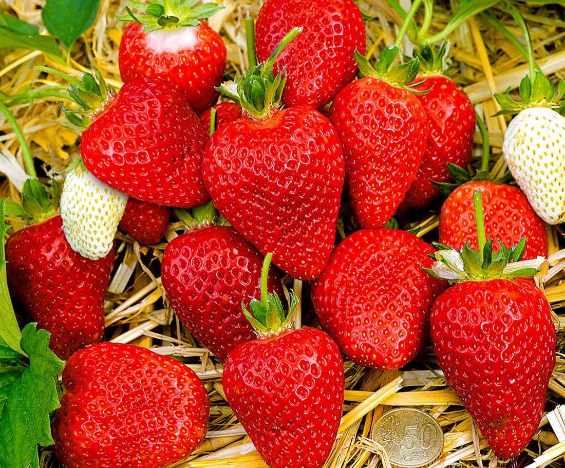 Альба саженцы клубники (Alba Strawberry)10шт
