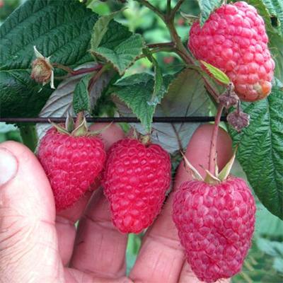 Тадмор малина (Tadmor Raspberry)