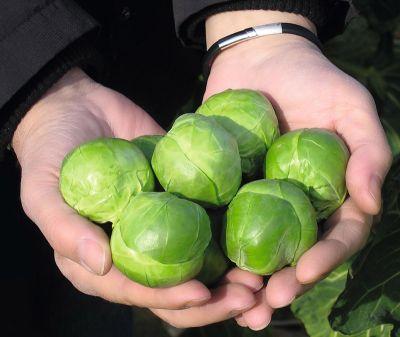 Семена капусты брюссельской «Франклин» F1 (20 семян) от Bejo