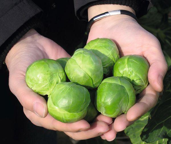купить голландские семена капусты