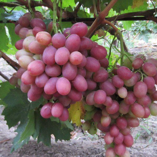 Саженцы винограда Фаэтон